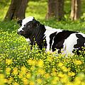 Happy Cow by Brian Jannsen