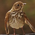 Happy Hermit Thrush by Earl Williams Jr