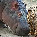 Happy Hippo by Eti Reid