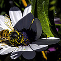 Happy Honey Bee by George Davidson