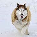 Happy Husky by Gary Beeler