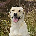 Happy Labrador by John Daniels