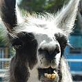 Happy Llama by Jessica Coyle