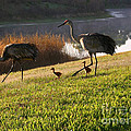 Happy Sandhill Crane Family - Original by Carol Groenen