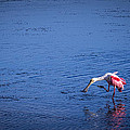 Happy Spoonbill by Marvin Spates