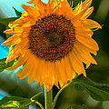 Happy Sunflower by Robert Bales