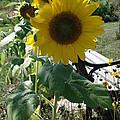 Happy Sunflowers by Diane Palmer