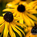 Happy Susans by Cheryl Baxter