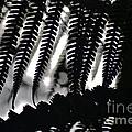 Hapu'u Fern Silhouette by Lehua Pekelo-Stearns
