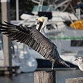 Harbor Pelican And Gull by Carol Groenen