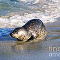 Harbor Seal by David Davis