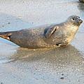 Harbor Seal by Eric Johansen