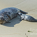 Harbor Seal Suckling Young by Anthony Mercieca