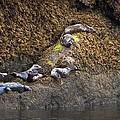 Harbor Seals by Natalie Rotman Cote