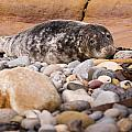 Harbour Seal   by David Head
