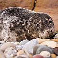 Harbour Seal Close Up by David Head