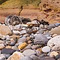 Harbour Seal On Pebble Beach by David Head
