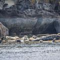 Harbour Seals Resting by Alanna DPhoto