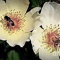 Hard Working Bee Twins  by Susanne Van Hulst