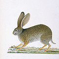 Hare by British Library