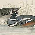 Harlequin Duck by Beverley R. Morris