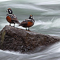 Harlequin Ducks At Lehardy Rapids by Max Waugh