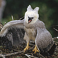 Harpy Eagle Threat Posture Amazonian by Tui De Roy