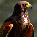 Harris Hawk In Thought by Pravine Chester