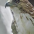 Harris Hawk by Kenny Francis