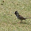 Harris Sparrow On Grass by Robert Hamm