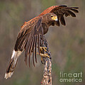 Harris's Hawk 1 by Jerry Fornarotto