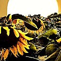 Harvest Moon Over A Sunflower Farm by Danielle  Parent