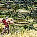 Harvest Season In Rice Field by Tuimages