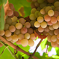 Harvest Time. Sunny Grapes II by Jenny Rainbow