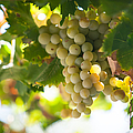 Harvest Time. Sunny Grapes Iv by Jenny Rainbow
