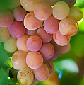 Harvest Time. Sunny Grapes by Jenny Rainbow