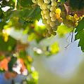 Harvest Time. Sunny Grapes V by Jenny Rainbow