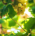 Harvest Time. Sunny Grapes Vii by Jenny Rainbow