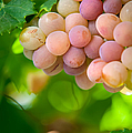 Harvest Time. Sunny Grapes Viii by Jenny Rainbow