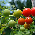 Harvest Tomatoes by Violeta Ianeva