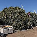 Harvesting California Orange Crops by Carol M Highsmith