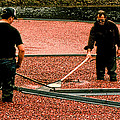 Harvesting Cranberries by Mike Martin