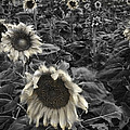 Haunting Sunflower Fields 2 by Dave Dilli