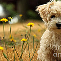 Havanese Puppy  by Marvin Blaine