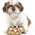 Havanese With Dog Bowl by Jean-Michel Labat