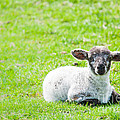 Have You Any Wool by Cheryl Baxter
