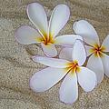 Hawaiian Tropical Plumeria by Susan Candelario