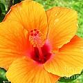 Hawaii Orange Hibiscus by Crystal Miller