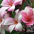 Hawaii Plumeria by Crystal Miller