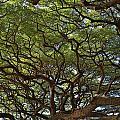 Hawaiian Banyan Tree by Sam Amato